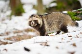 stock photo of raccoon  - Raccoon dog walking in the winter forest - JPG