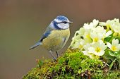 pic of tit  - Blue tit standing next to primrose flower - JPG
