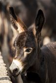 picture of horses ass  - small brown donkey with big ears close - JPG
