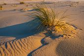 pic of dead plant  - Plants on dunes dead trees and straw growing on sands - JPG