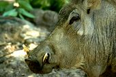 picture of razorback  - A razorback hog with tusks.  A head shot 