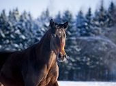 stock photo of bay horse  - The Bay horse portrait in winter closeup - JPG