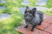 image of pomeranian  - Angry old pomeranian on brick at the park - JPG