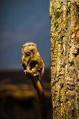 stock photo of marmosets  - The pygmy marmoset  - JPG