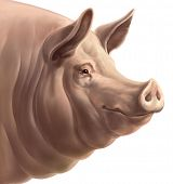 pic of pig head  - Illustration the head of pig - JPG