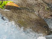 pic of grouper  - grouper fish on top of ice - JPG