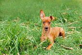 stock photo of miniature pinscher  - Funny puppy of Miniature Pinscher and pooch playing on green grass in yard - JPG