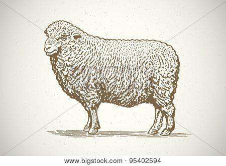 Sheep in graphic style. Drawing by hand. Vector illustration.