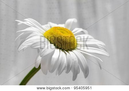 Beautiful daisy on fabric background