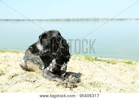 Russian spaniel on beach, outdoors
