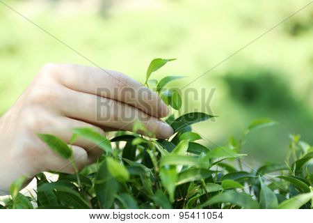 Hand plucking tea leaf, outdoors