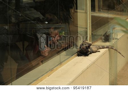 PRAGUE, CZECH REPUBLIC - MAY 29, 2015: Visitors look at Cuban rock iguana (Cyclura nubila), also known as the Cuban ground iguana at Prague Zoo, Czech Republic.