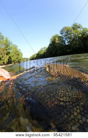 Brown trout being taken out of water with fishing net
