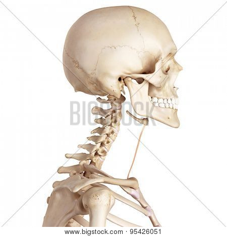 medical accurate illustration of the sternohyoid