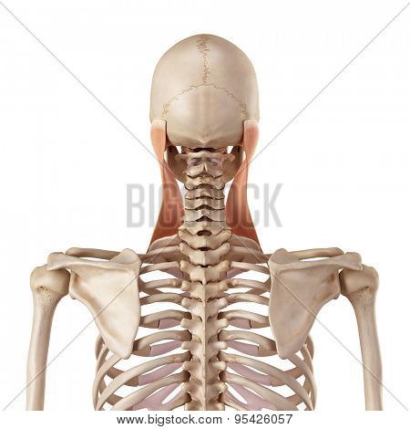 medical accurate illustration of the sternocleidomastoid