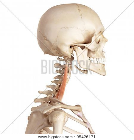 medical accurate illustration of the scalene middle