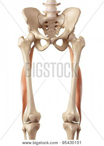medical accurate illustration of the biceps femoris longus