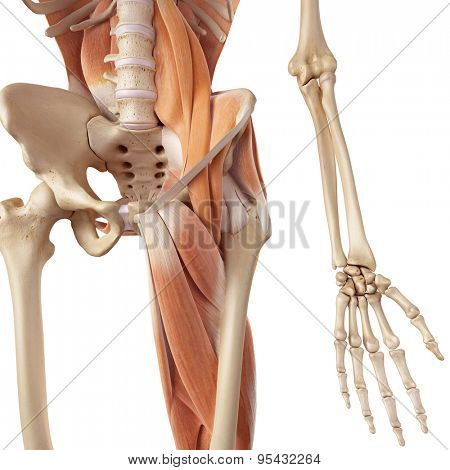medical accurate illustration of the hip and leg muscles
