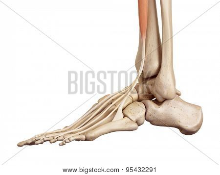 medical accurate illustration of the extensor digitorum longus
