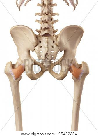 medical accurate illustration of the quadratus femoris