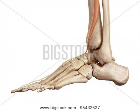 medical accurate illustration of the extensor hallucis longus