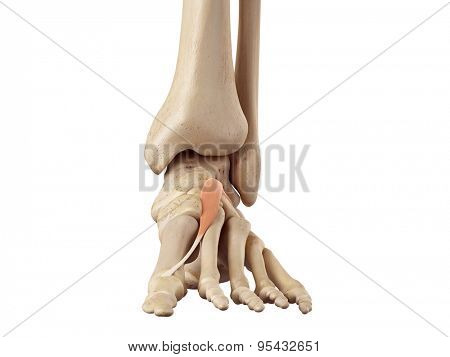 medical accurate illustration of the extensor hallucis brevis