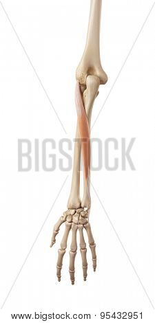 medical accurate illustration of the extensor carpi ulnaris