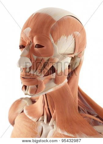medical accurate illustration of the facial muscles