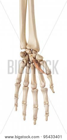 medical accurate illustration of the flexor pollicis brevis