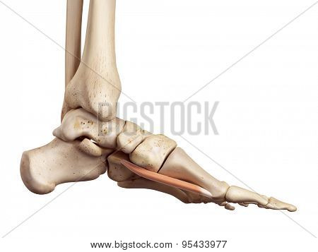 medical accurate illustration of the flexor hallucis brevis