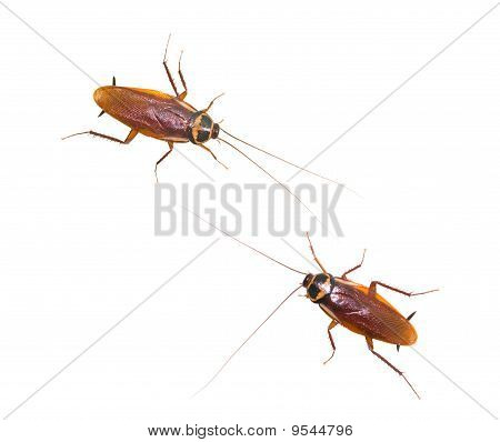 Two Isolated Cockroach On White Background
