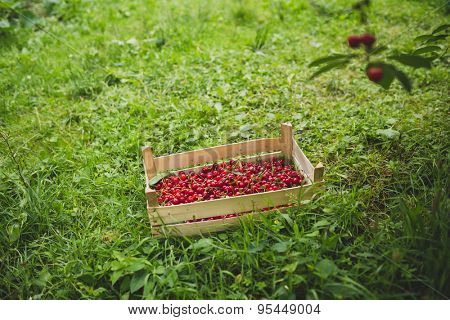 Crate of sour cherries