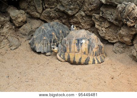Radiated tortoise (Astrochelys radiata). Wild life animal.