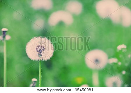 Beautiful dandelion with seeds in field