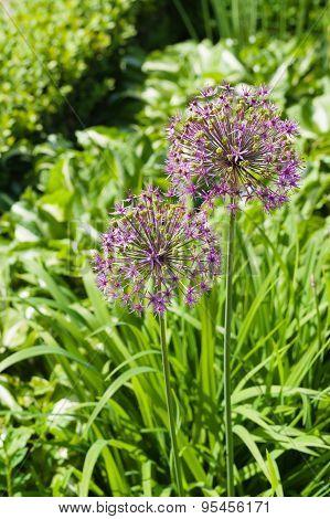 Blooming Giant Onion Flowers (allium Giganteum) In The Garden
