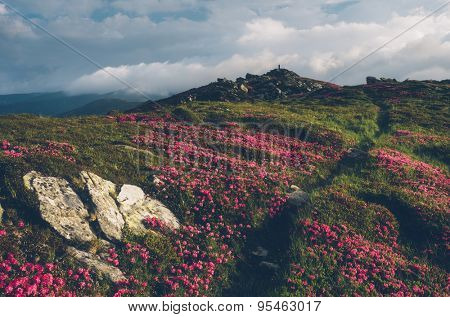 Summer flowers. The path in the mountains. Blooming Rhododendron in a clearing. Sunny day. Carpathians, Ukraine, Europe. Color toning. Low contrast. Instagam effect