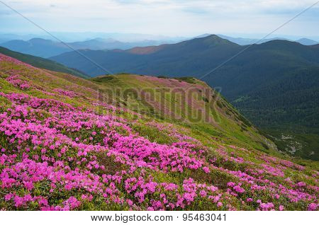 Summer flowers in the mountains. Blooming rhododendron
