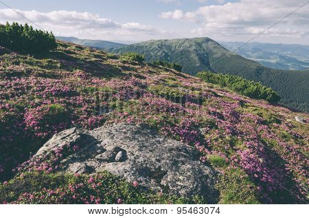 Summer flowers in the mountains. Blooming Rhododendron in a clearing. Sunny day. Carpathians, Ukraine, Europe. Color toning. Low contrast. Instagam effect