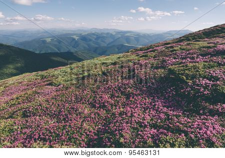 Summer flowers in the mountains. Blooming Rhododendron in a meadow. Sunny day. Carpathians, Ukraine, Europe. Color toning. Low contrast. Instagam effect