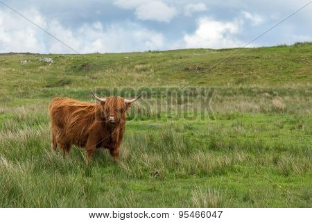 Adult red Scottish Gaelic or Highland Cattle in a meadow on the Isle of Lewis and Harris in the Outer Hebrides