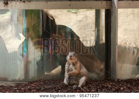 VIENNA, AUSTRIA - JUNE 7, 2015: Young visitor takes picture of a black-tailed prairie dog (Cynomys ludovicianus) at Schonbrunn Zoo in Vienna, Austria.