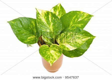 Isolated Pothos In Pottery Vase