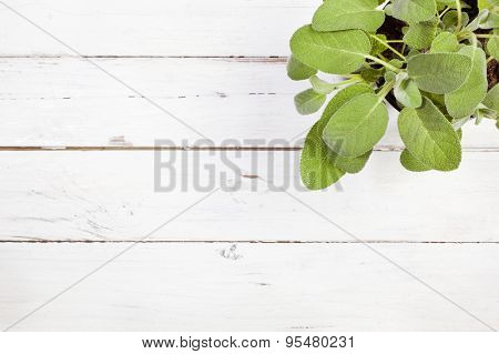 High angle view of sage plant on white wooden table with copy space