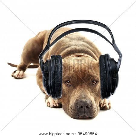 American Staffordshire Terrier with headphones isolated on white