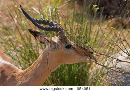 Impala Feeding