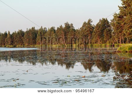 Pine trees reflection during golden scarlet sunrise on big forest lake
