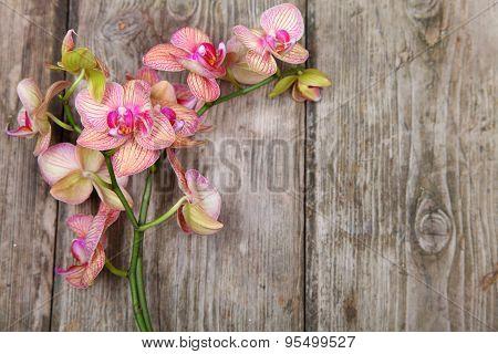 Orchid (phalaenopsis )