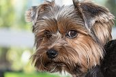 picture of yorkshire terrier  - Closeup portrait of the yorkshire terrier - JPG