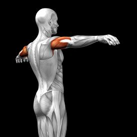 stock photo of triceps brachii  - Concept or conceptual 3D triceps human anatomy or anatomical and muscle isolated on black background - JPG