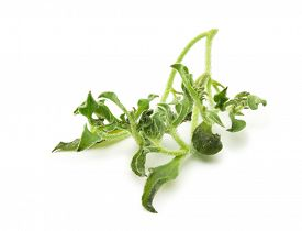 image of bladder  - Ice plant  - JPG